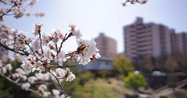 ニュータウンの桜