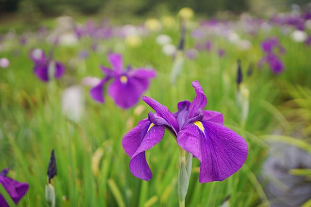 永沢寺「花しょうぶ園」園内の様子2