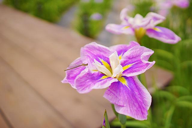 永沢寺「花しょうぶ園」園内の様子4