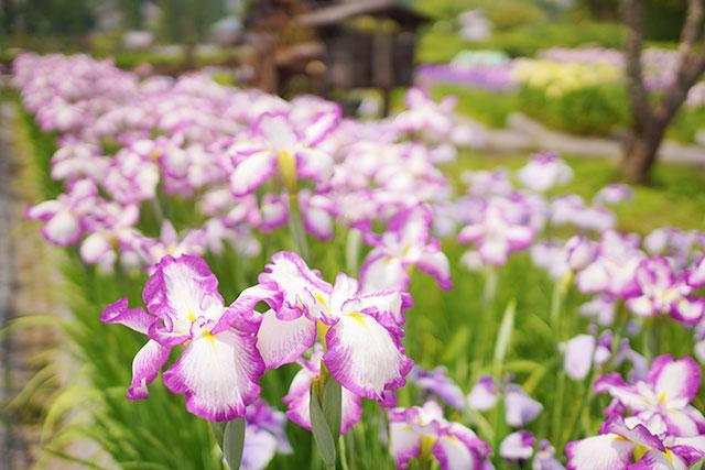 永沢寺「花しょうぶ園」園内の様子5