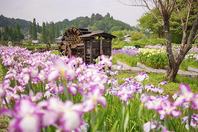 永沢寺「花しょうぶ園」園内の様子6