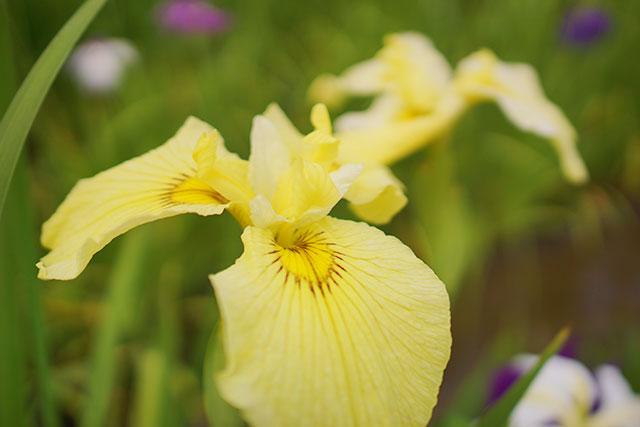 永沢寺「花しょうぶ園」園内の様子7