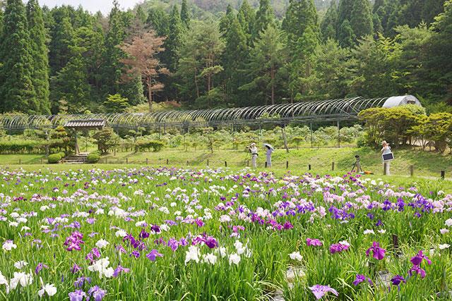 永沢寺「花しょうぶ園」園内の様子8