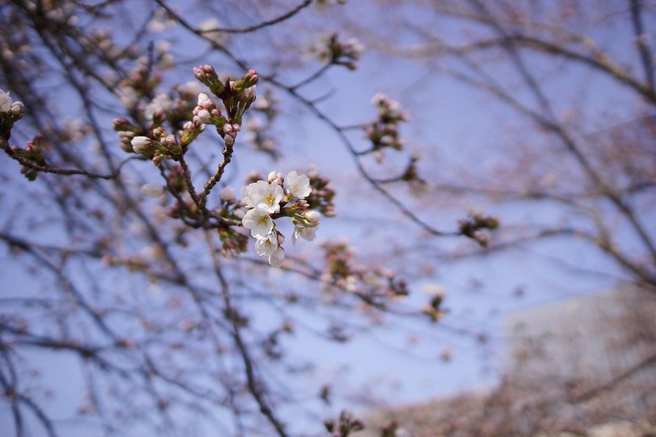 sanda-sakura-matome-13