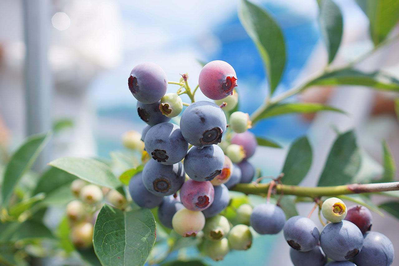 blueberry-05