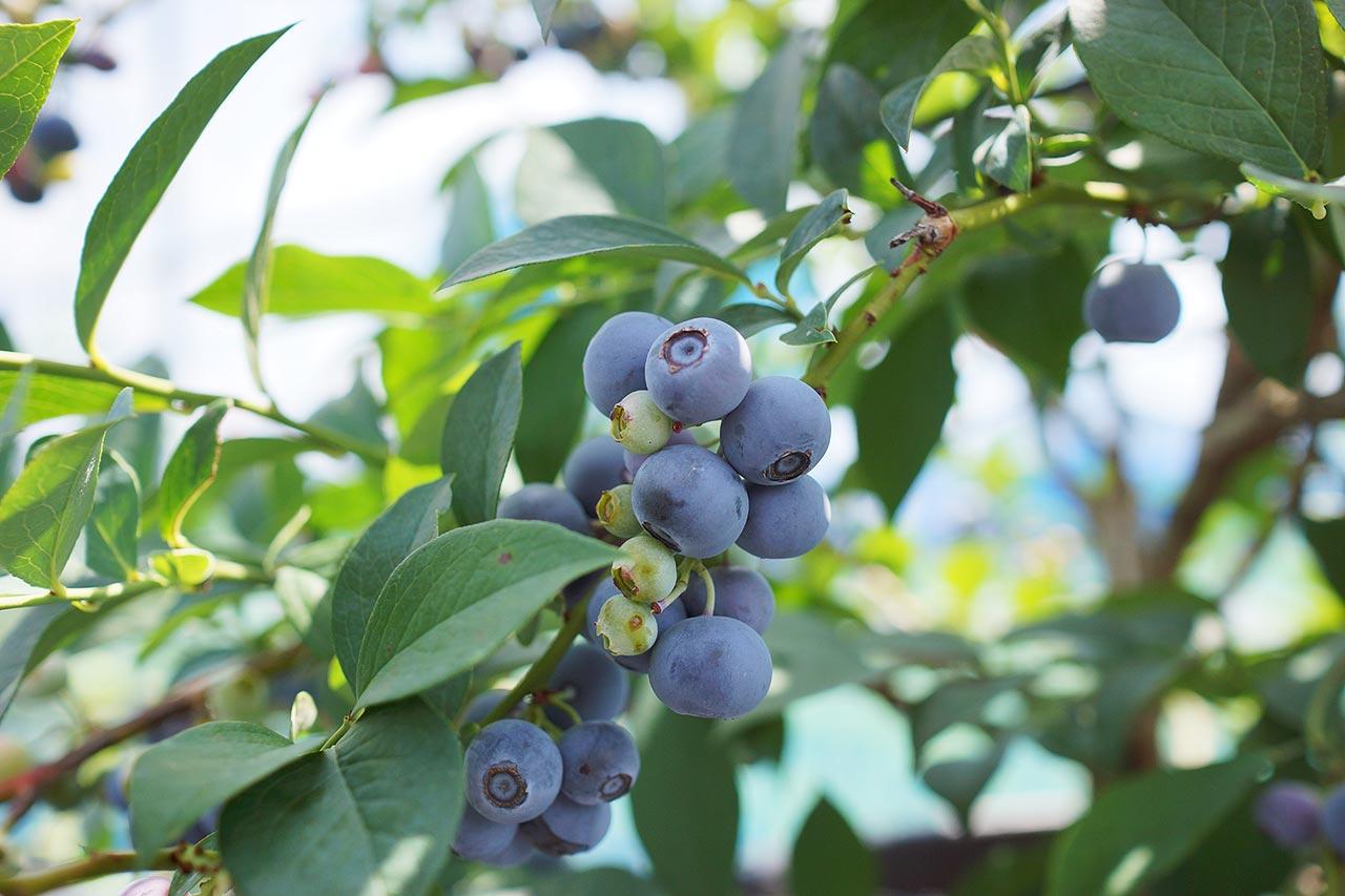 blueberry-06