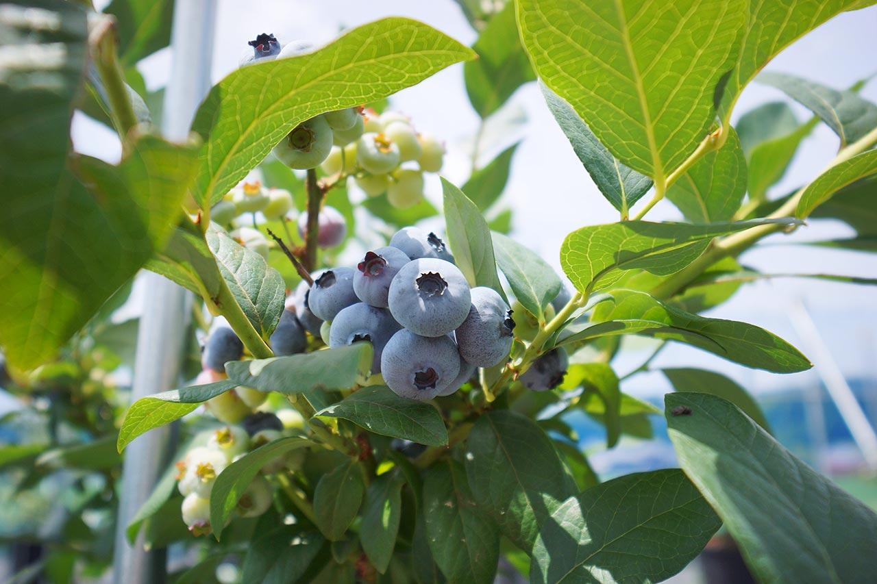 blueberry-13