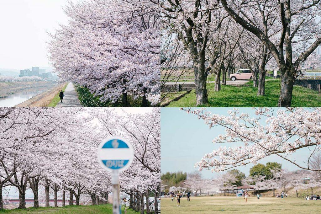【2018年版】三田市のおすすめ桜スポットまとめ。今年はココでお花見をしよう!