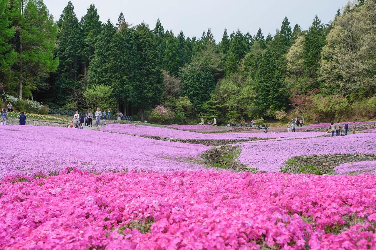 花のじゅうたんで芝桜を見てきたよ!4月中旬から5月中旬が見頃の癒しスポット