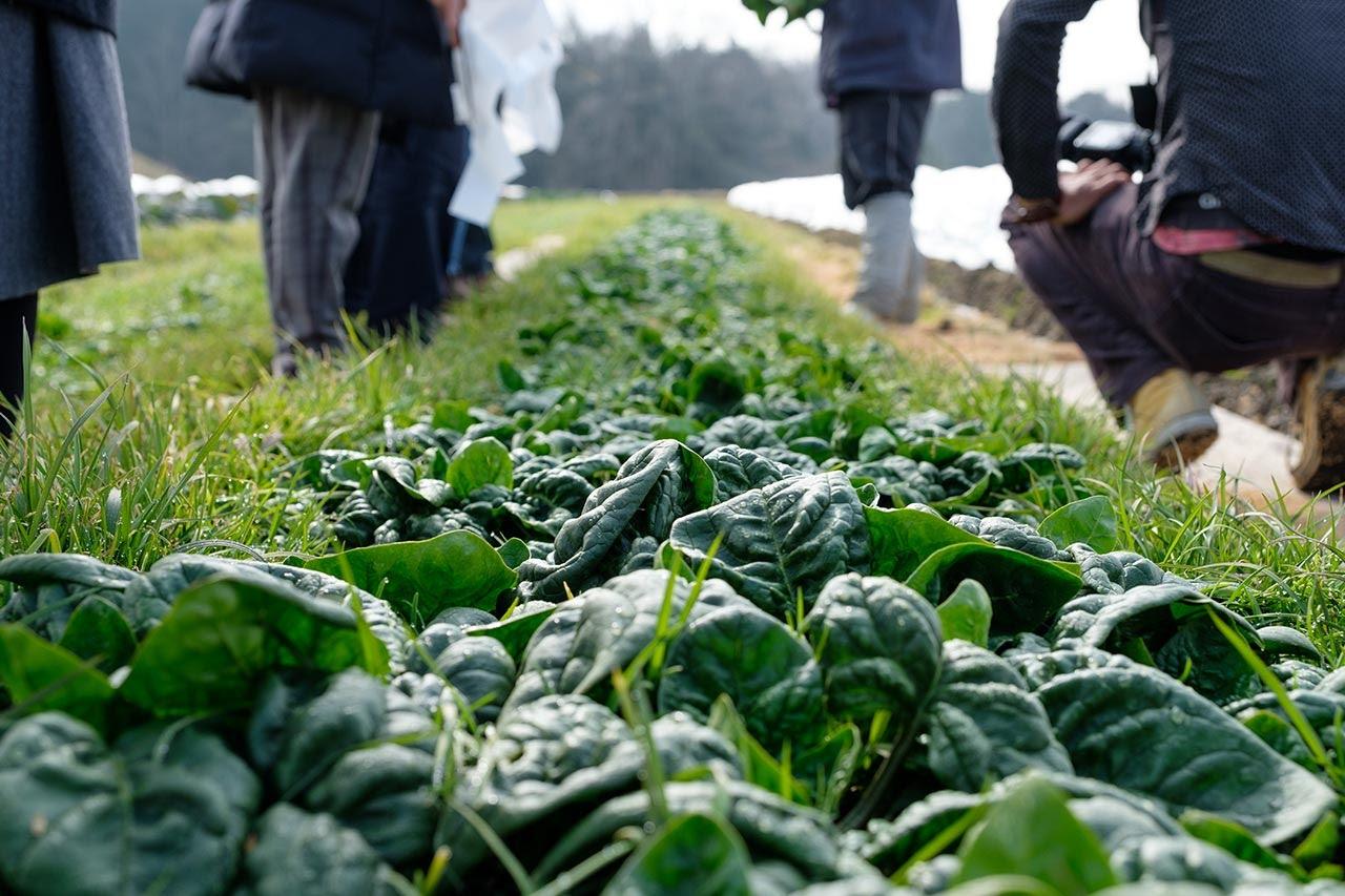 甘くて栄養抜群!季節限定の大沢町名産品「ちぢみほうれん草」を体験してきた